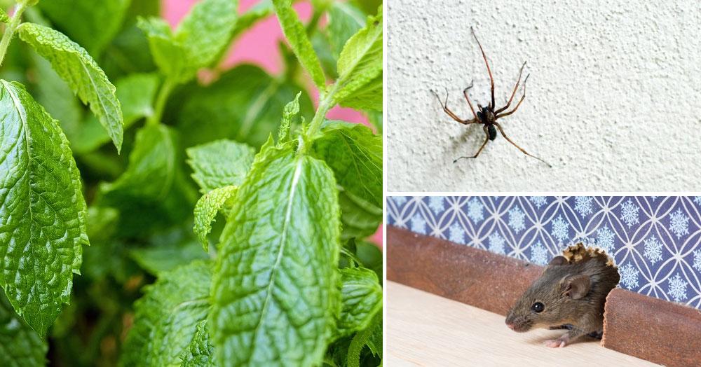 Jeśli będziesz mieć tę roślinę w domu myszy, pająki i inne owady będą go omijać z daleka!