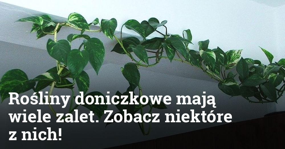 Rośliny doniczkowe mają wiele zalet. Zobacz niektóre z nich!