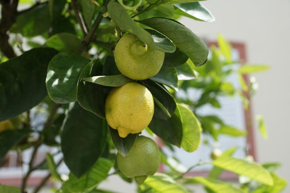 Jak wyhodować cytrynę w domu
