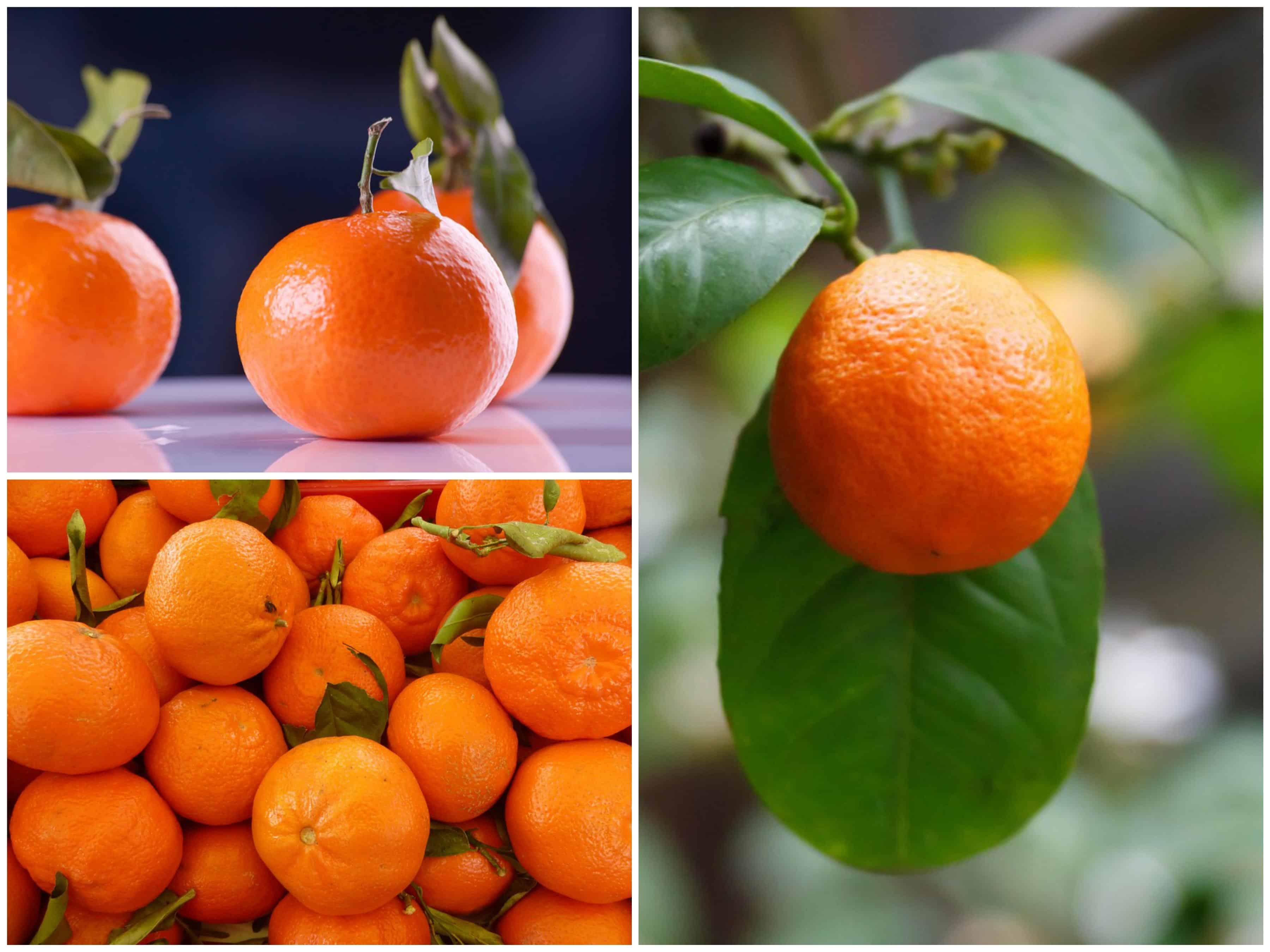 Jak posadzić mandarynki w domu? Krok po kroku!