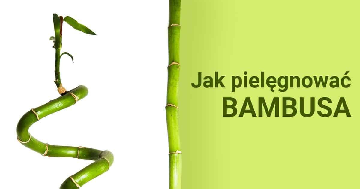 Jak pielęgnować bambusa?