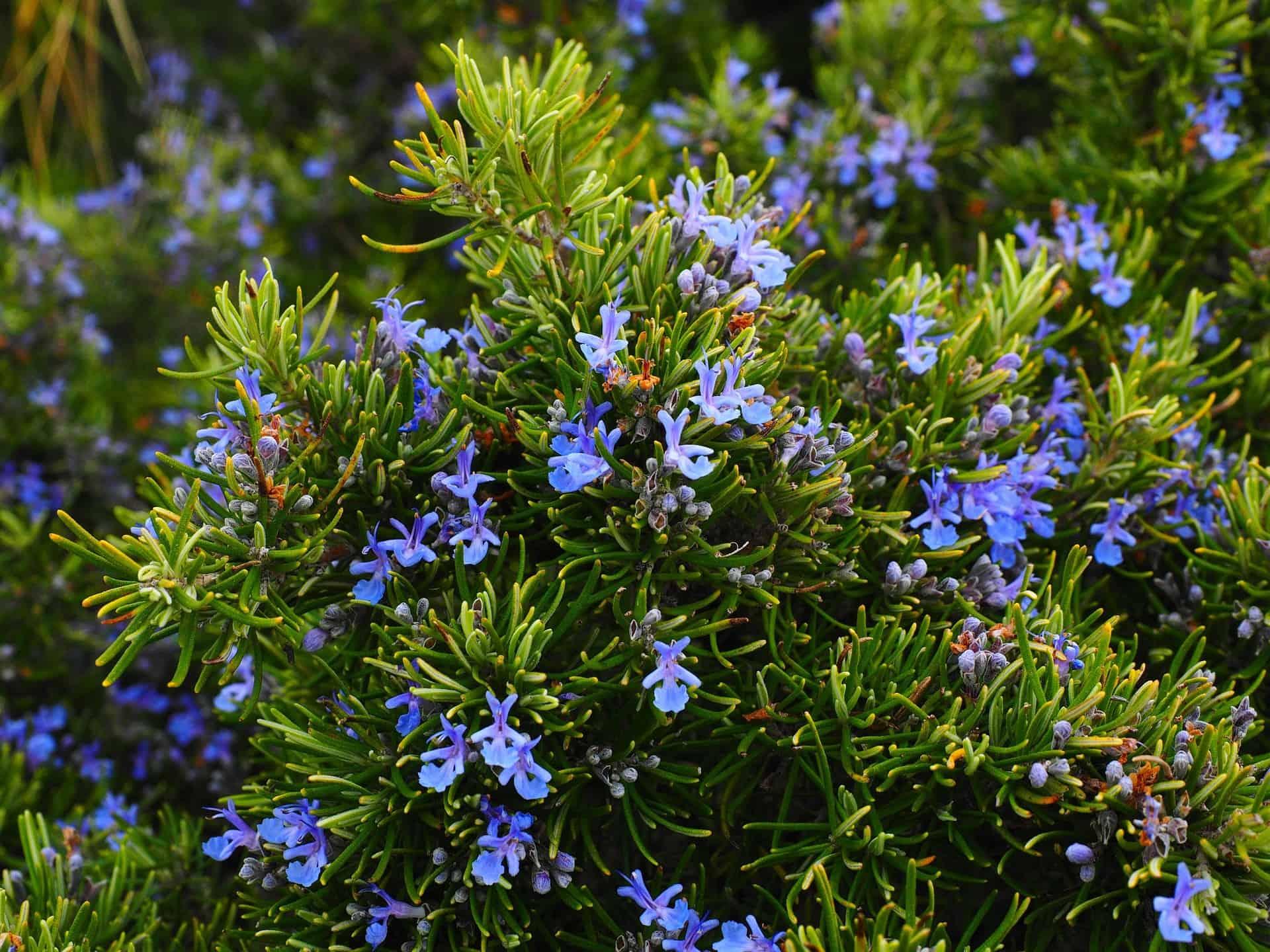 Poznaj pięć roślin, które w naturalny sposób odstraszają komary