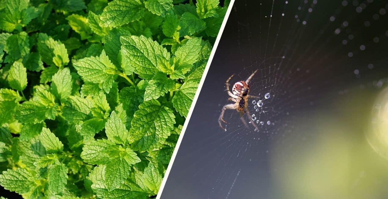 Hoduj tę roślinę w domu i pozbądź się pająków i innych owadów