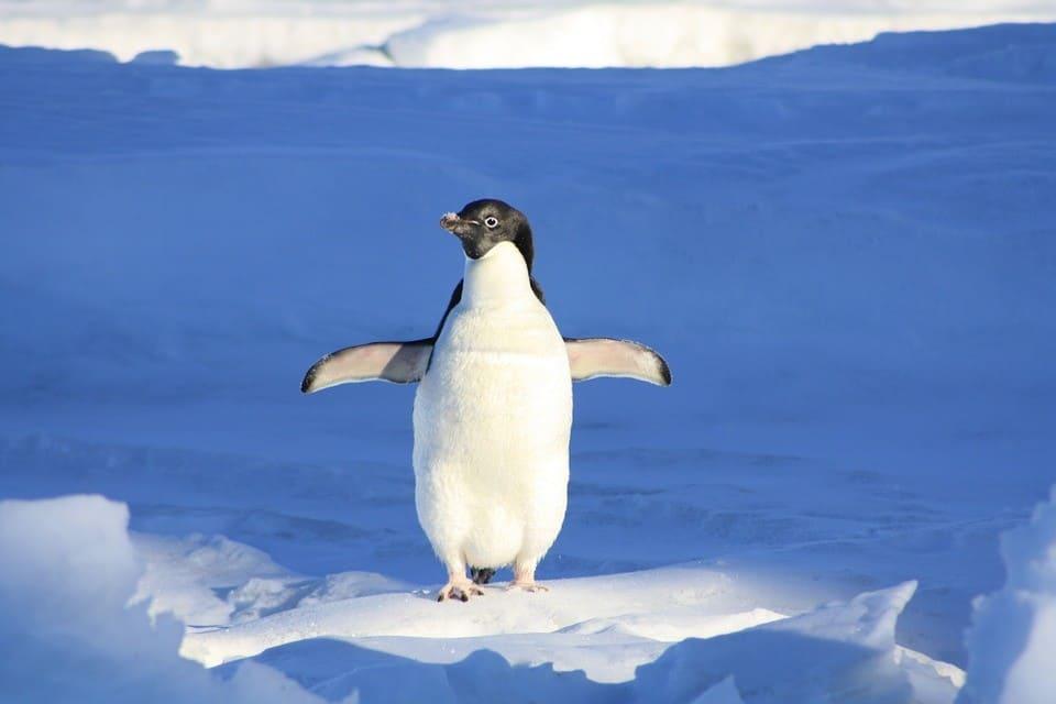 Czy pingwiny mają kolana