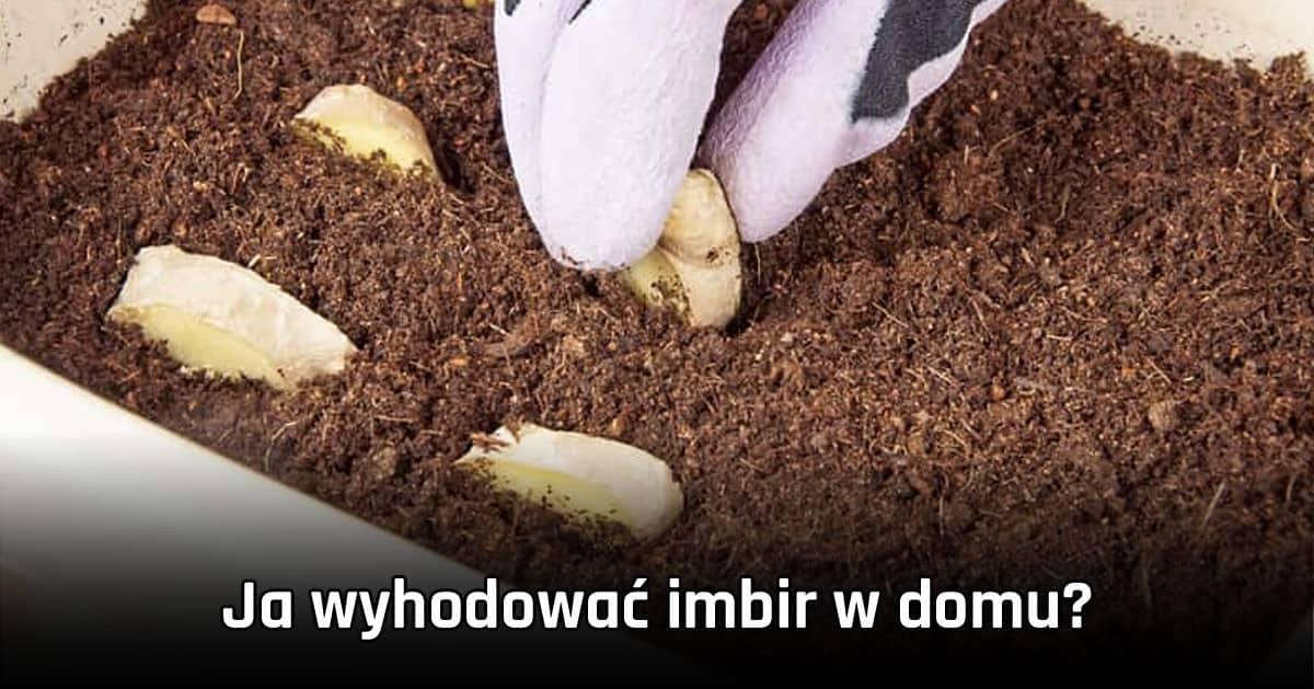 Jak wyhodować IMBIR w domu?