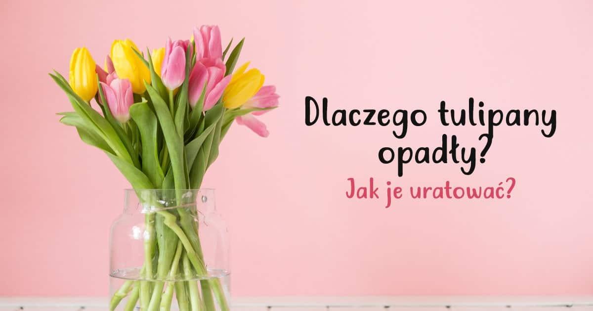 Dlaczego Tulipany Opadly Jak Uratowac Tulipany