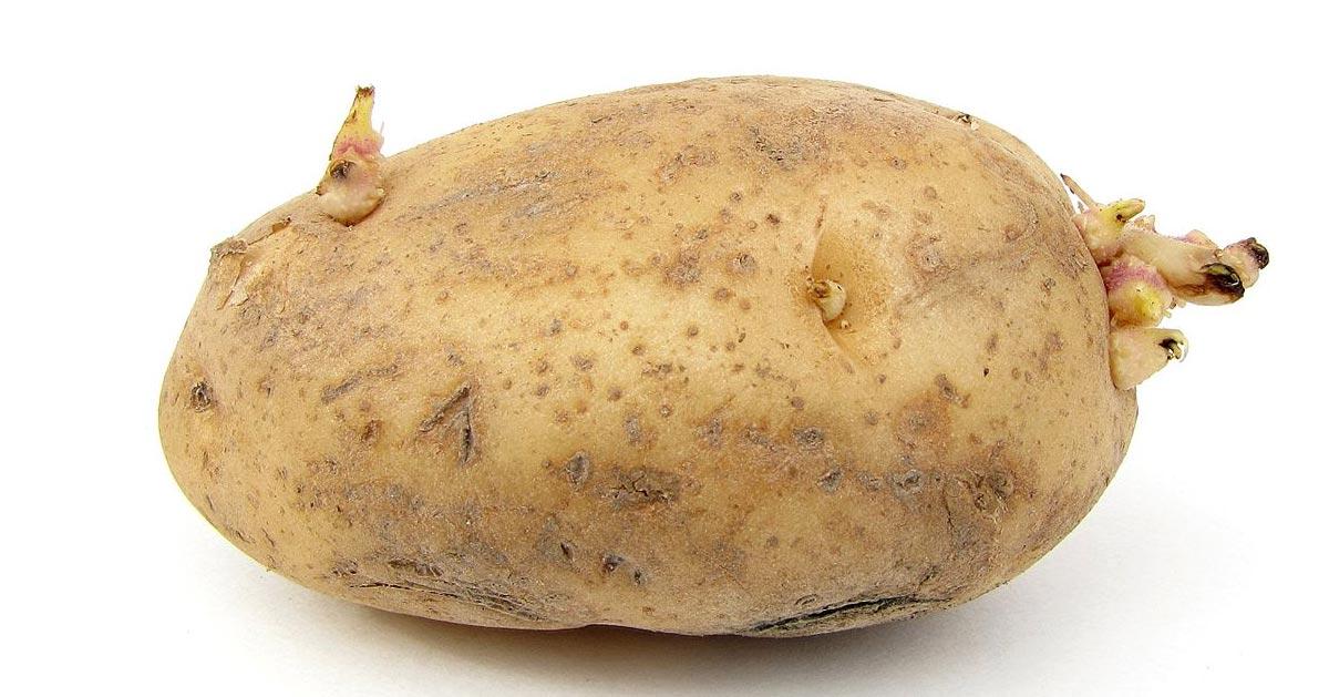 Czy można jeść kiełkujące ziemniaki?