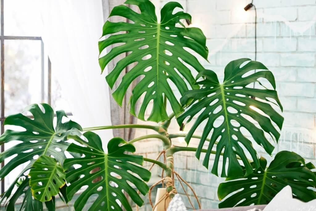 Monstera dziurawa – tropikalna roślina, która podbiła świat wnętrz