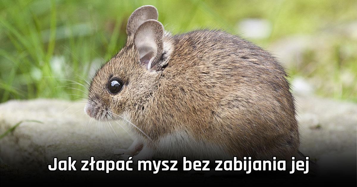 Jak złapać mysz bez zabijania jej