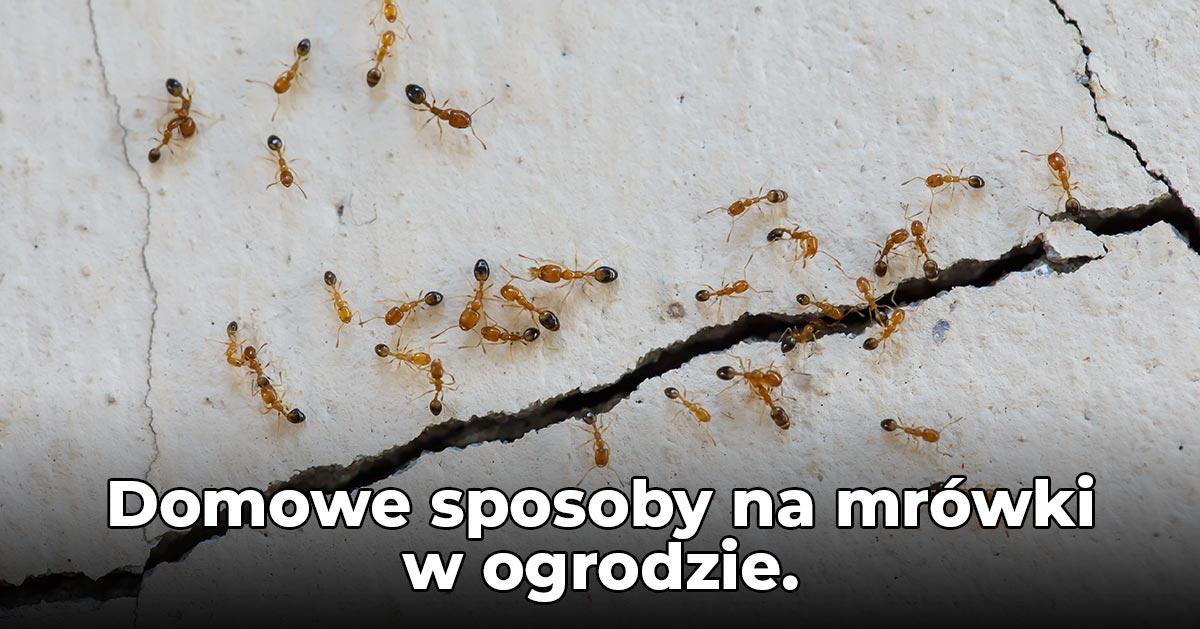Masz mrówki w ogrodzie? Zobacz jak pozbyć się mrówek ze swojego ogrodu!
