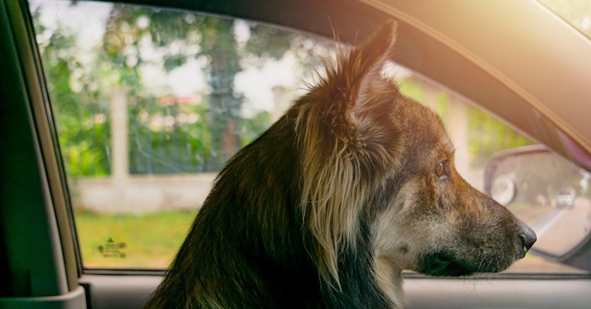Co grozi za pozostawienie psa w aucie podczas upałów?