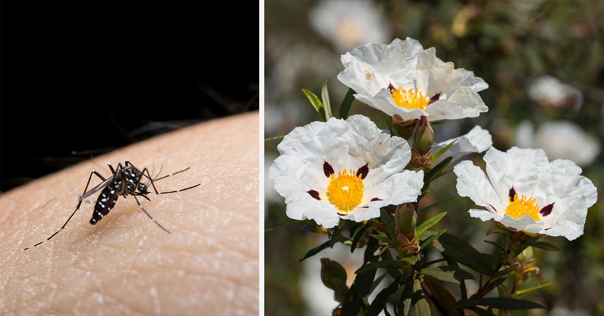 Wypróbuj ten naturalny sposobów na kleszcze i komary!