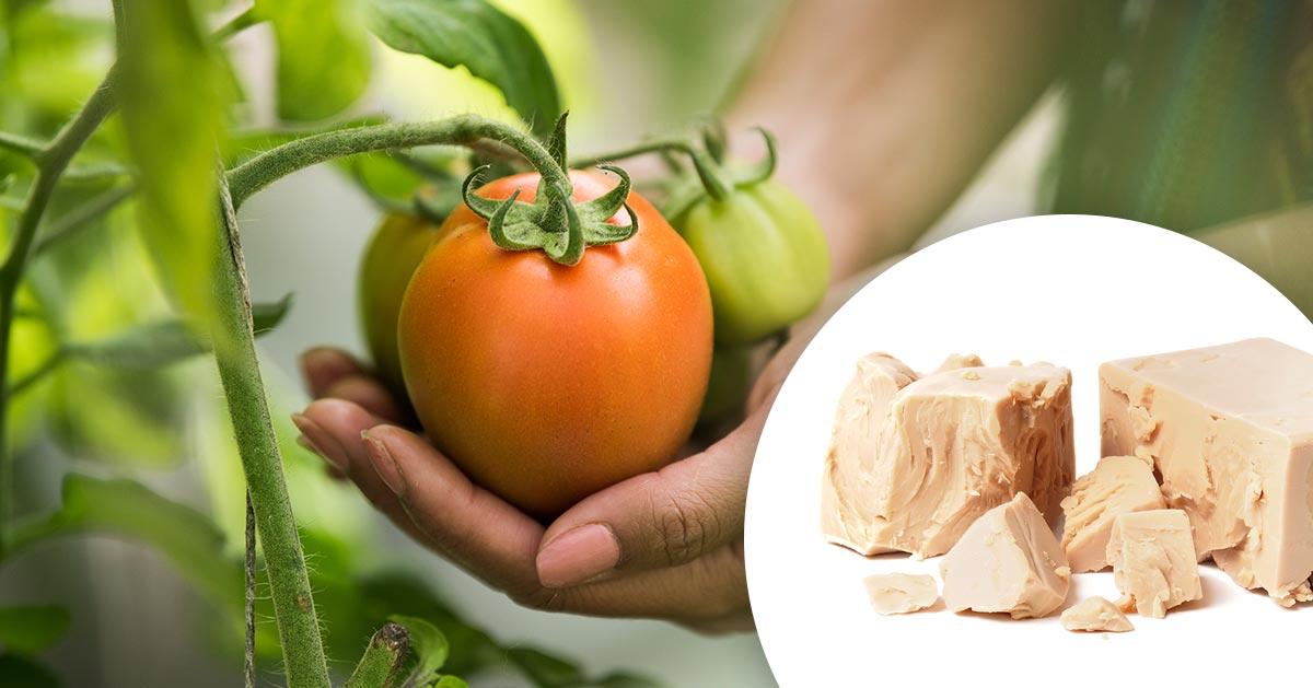 Ochrona pomidorów przed chorobami – oprysk z drożdży