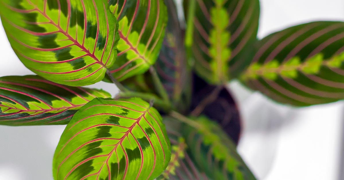 Maranta – zobacz dlaczego powinnaś mieć tę roślinę w domu!