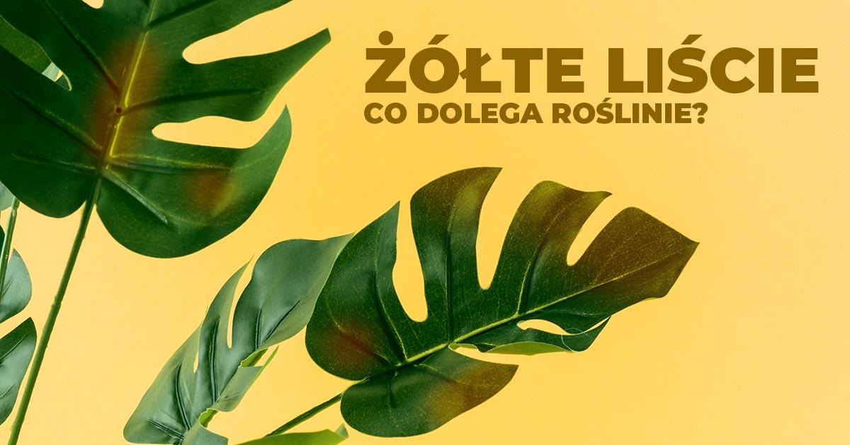 Roślina doniczkowa ma żółte liście – co robić?