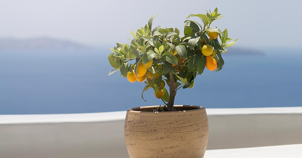 Jak wyhodować drzewko cytrynowe z pestek cytryny