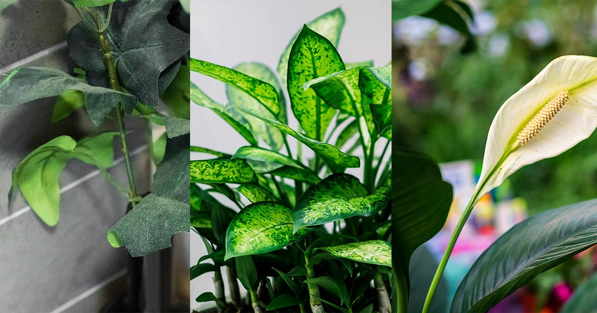 Te trzy rośliny domowe mogą doprowadzić do zatrucia!