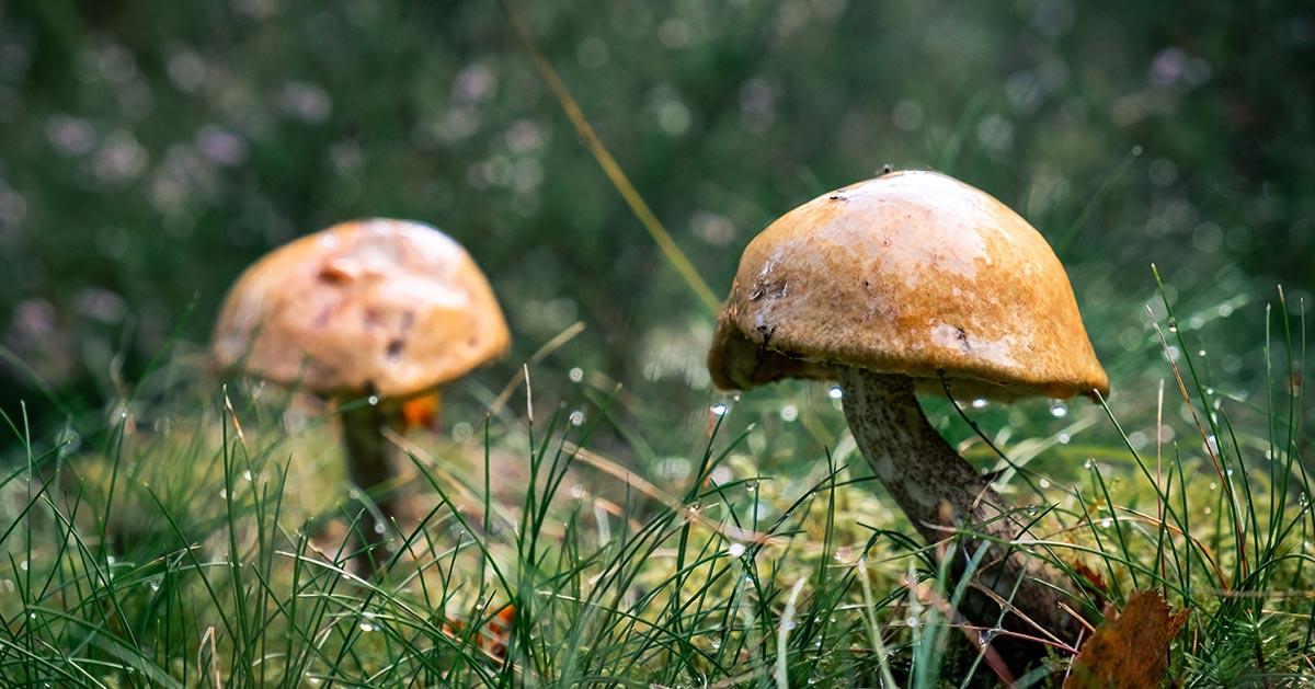 Czy można rozpoznać trującego grzyba liżąc go?
