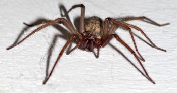 Tego pająka możemy spotkać w naszych domach. Czy jego ugryzienie jest groźne?