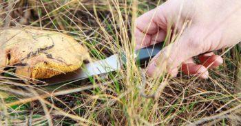 Wykręcać czy ścinać grzyby na grzybobraniu?